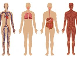 Improving the function and the health of the vital organs by vitamin intake